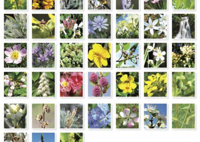 Les 38 fleurs de Bach
